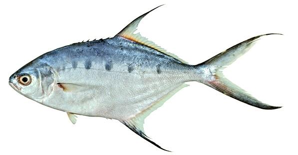 Common Species